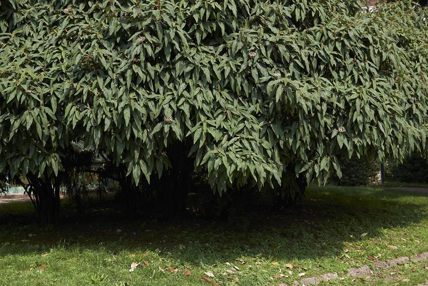 Kalina sztywnolistna to jedna z piękniejszych roślin, która ma bardzo ładne liscie. Jej uprawa nie jest trudna, więc warto ją posadzić w ogrodzie