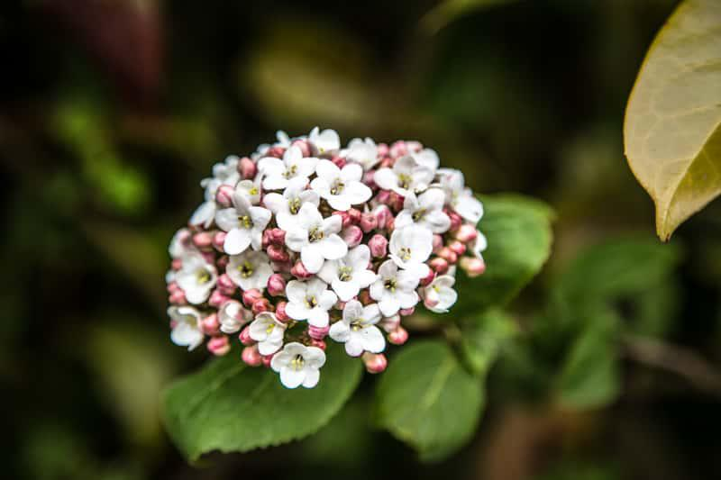 Kalina koreańska w czasie kwitnienia, a także sadzenie, pielęgnacja, uprawa oraz zastosowanie krzewu w ogrodzie