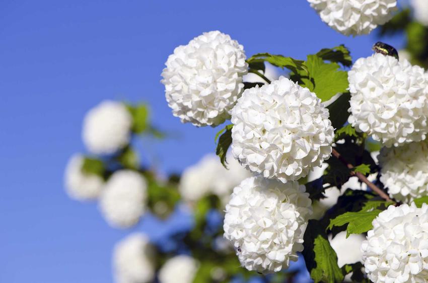 Kalina koreańska to jeden z najpiękniejszych krzewów. Uprawa nie jest wymagająca, a roślina ma niewielkie wymagania.