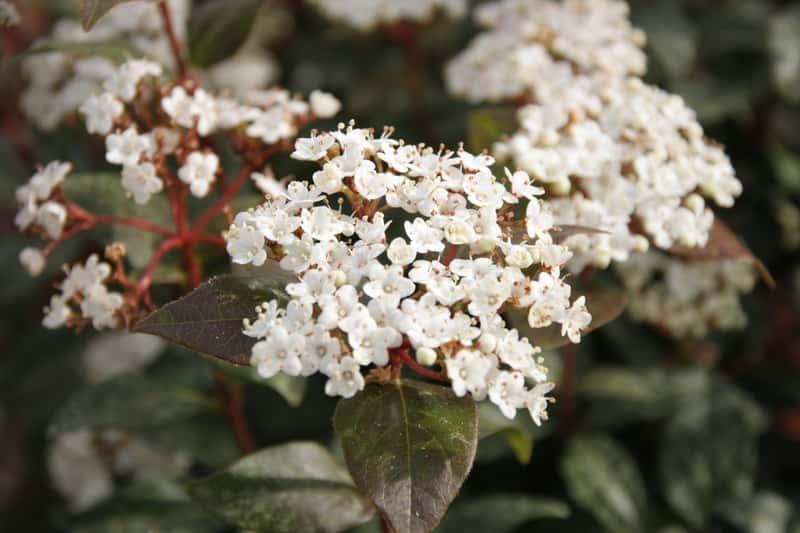 Białe kwiaty kaliny Burkwooda w czasie kwitnienia, a także zastosowanie, pielęgnacja, sadzenie, podlewanie oraz uprawa