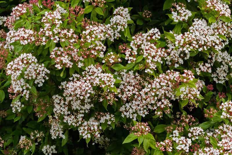 Drobne kwiaty kaliny wawrzynowatej, a także sadzenie, pielęgnacja, uprawa w ogrodzie, piękny krzew i jego wymagania