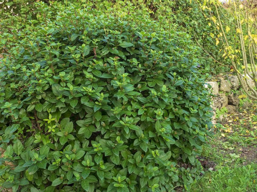 Kalina wawrzynolistna to jedna z najpiękniejszych krzewów, który nadaje się do zasadzenia w ogrodzie, zwłaszcza, że pielęgnacja i rozmnażanie nie są trudne.