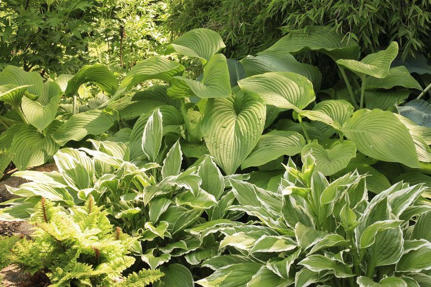 Hosty w ogrodzie bardzo często wytwarzają bardzo duże kępy rozległych liści, które są bardzo ozdobne. Wspaniale się prezentują, a ich uprawa nie jest trudna.