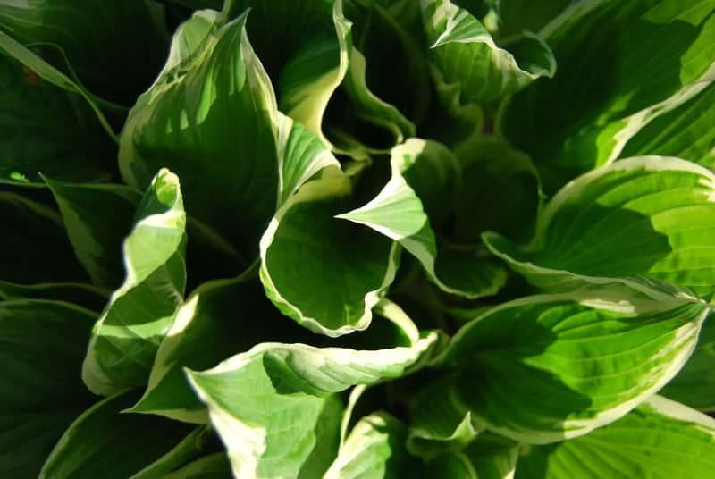 Hosta, czyli funkia nazywana inaczej królową cienistych ogrodów, rodzaje, odmiany, warunki uprawy, stanowisko, wymagania, pielegnacja - porady
