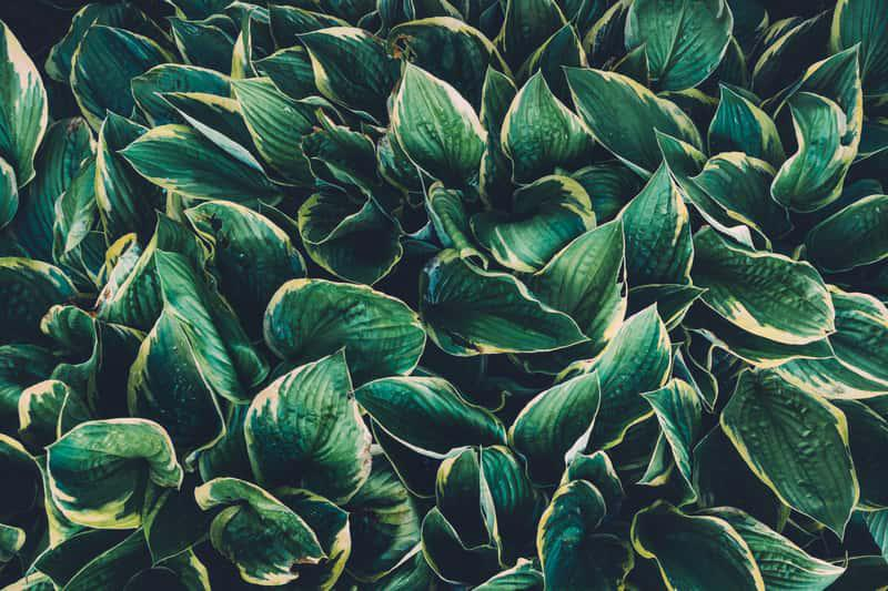 Funkia ogrodowa o drobnych ciemnozielonych liściach, a także wymagania siedliskowe, sadzenie, uprawa i pielęgnacja w ogrodzie