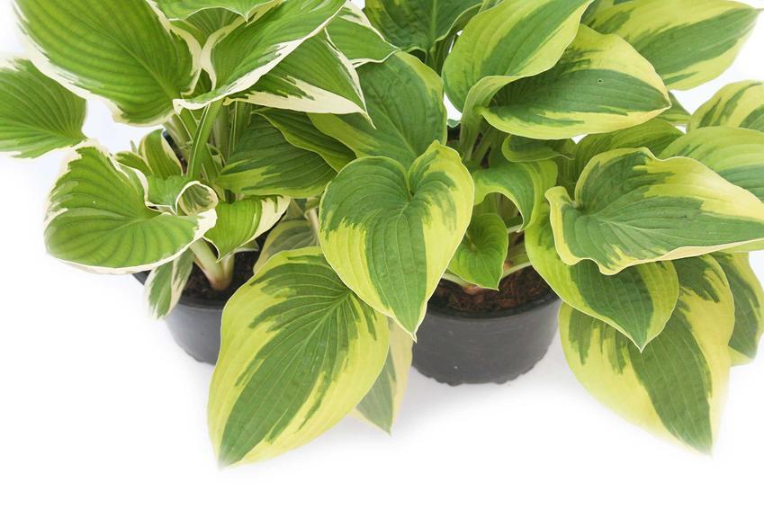Funkia ogrodowa może być sadzona w małych doniczkach, jest łatwa w pielęgnacji i w uprawie, wymaga zacienionego stanowiska.