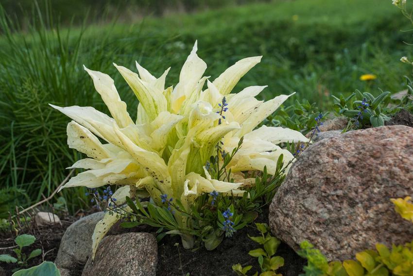 Funkia biała to jedna z najbardziej godnych zainteresowania roślin. Jest bardzo atrakcyjna, a jej uprawa jest łatwa. Ma bardzo małe wymagania.