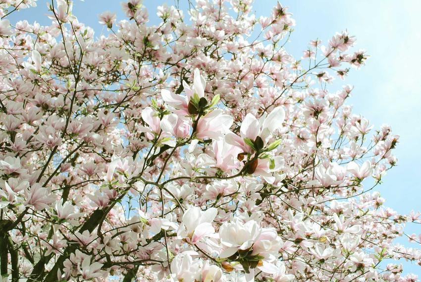 Magnolia pośrednia powinna być sadzona wiosną lub jesienią. Jej piękne kwiaty i ciekawe liście ładnie się prezentują, a rośliny mają dość spore wymagania.