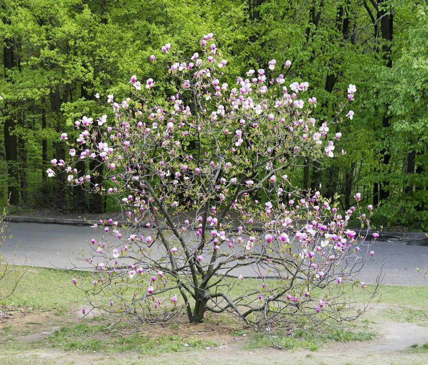 Magnolia gwiaździsta wspaniale wygląda w ogrodzie. Cięcie rośliny nie jest trudne, a uprawa dość wymagająca, ale odmiany są bardzo interesujące.