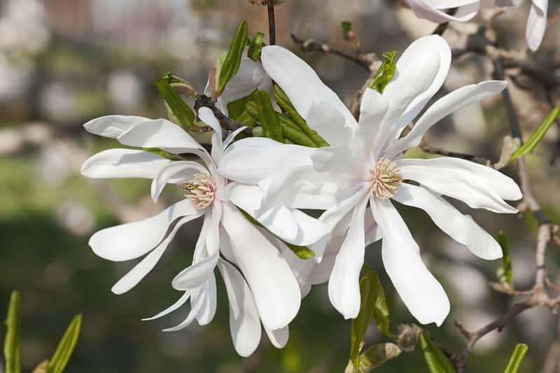 Białe kwiaty magnolii gwiaździstej rosnącej w ogrodzie, a także magnolia gwiaździsta krok po kroku, sadzenie, pielęgncja, przycinanie i wymagania