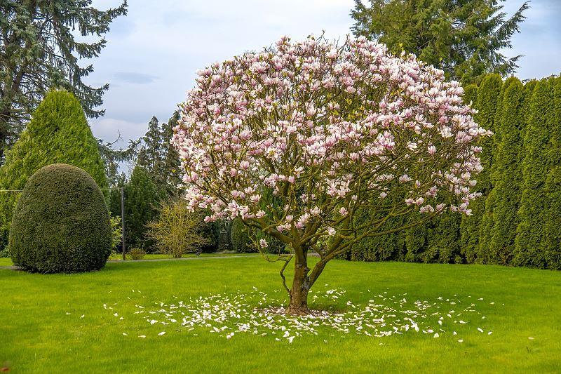 Krzew magnolii Betty w ogrodzie, a także sadzenie rośliny, sadzonki, pielęgnacja, przycinanie oraz zimowanie