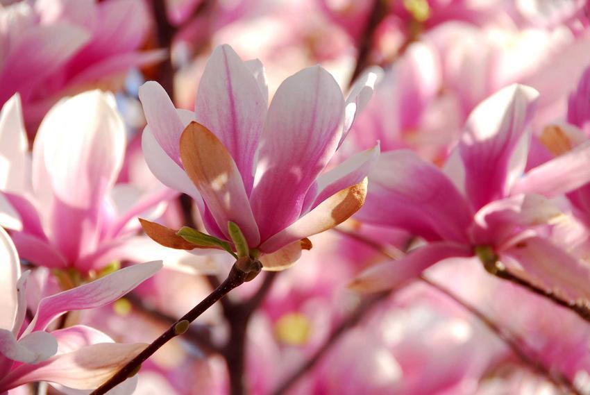 Magnolia parasolowata to odmiana magnolii o przepięknych kwiatach. Ma niskie wymagania, a jej uprawa w ogrodzie nie jest szczególnie wymagająca