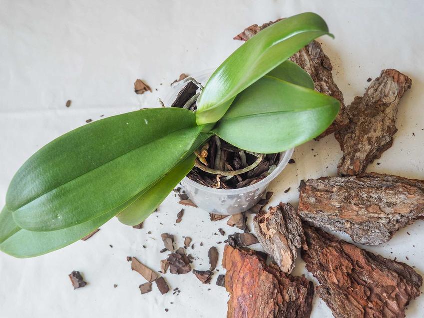 Przesadzanie storczyków zaczyna się od dobrania odpowiedniego podłoża do storczyków. Orchidee lubią lekką korę drzewną, ponieważ korzenie potrzebują dopływu powietrza.