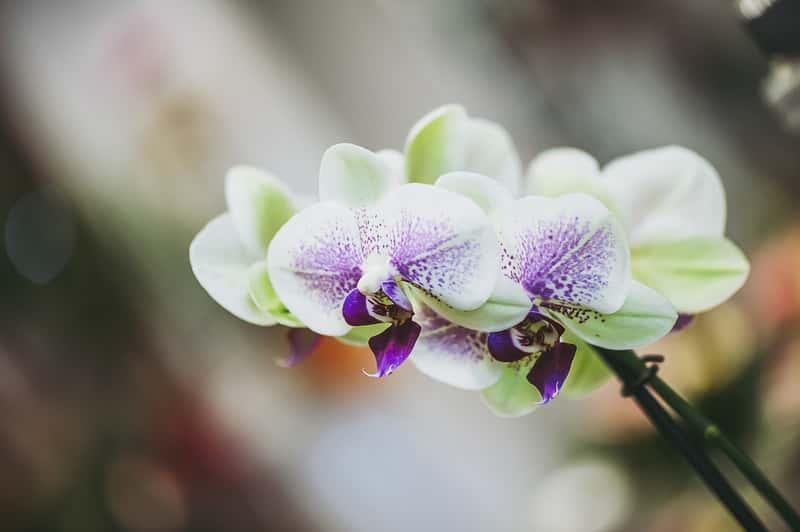 Biało-fioletowy storczyk mini, a także najczęstsze choroby storczyków, szkodniki, choroby grzybowe i choroby liści storczyków