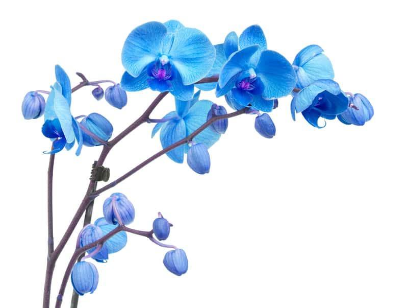 Gałązka niebieskiego storczyka rosnącego w doniczce, a także opis odmian, zastosowanie, sadzenie oraz pielęgnacja