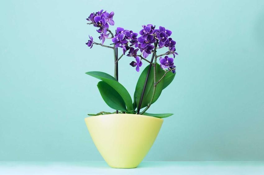 Niebieski storczyk powinien stać w odpowiednim, dość dobrze nasłonecznionym stanowisku. Jest to roślina dość trudna w pielęgnacji, uprawa nie jest łatwa.