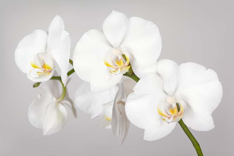 Delikatne kwiaty phalenopsis, czyli storczyk biały uprawiany w doniczce, a także pielęgnacja, zastosowanie i sadzenie