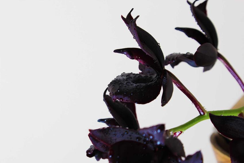 Czarny storczyk to jedna z najpiękniejszych i najciekawszych roślin. Pielęgnacja i uprawa storczyków nie jest trudna.