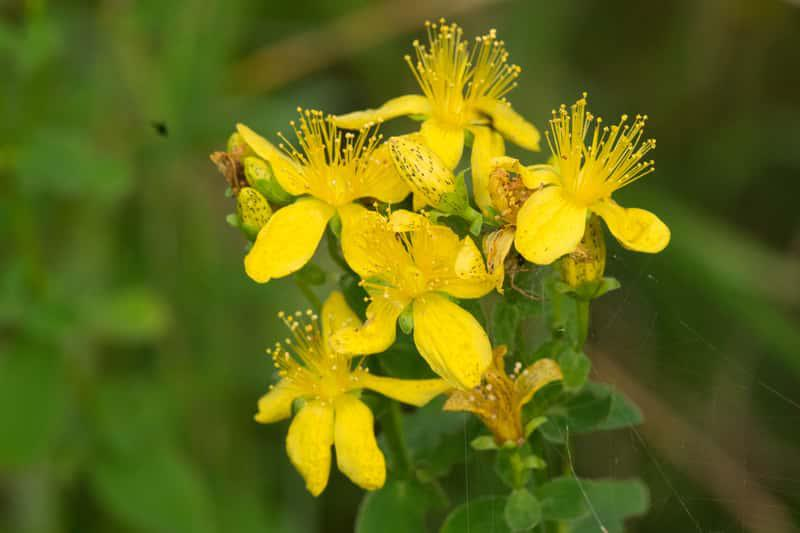 Kwiaty ziela dziurawca, hypericum perforatum, czy też ziele świetojańskie - uprawa, wymagania oraz właściwości i działanie lecznicze