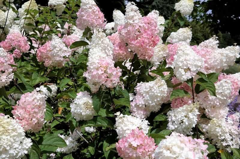 Różowo-białe kwiaty hortensji Limelight, a także hortensja tej odmiany i jej pielęgnacja, uprawa, sadzenie, podlewanie i nawożenie