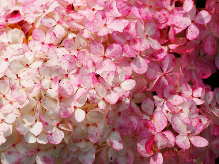 Hortensja 'Limelight' nie ma dużych wymagań. Jej uprawa jest łatwa, przycinanie mało wymagające, kwiaty są gęste i ładne.