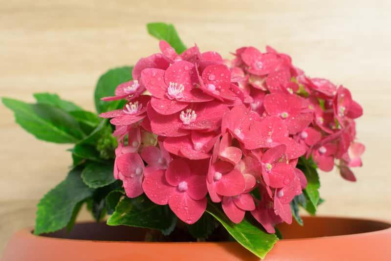 Kwitnąca hortensja w doniczce, gatunki, odmiany, warunki uprawy, pielęgnacja, sadzenie, wykorzystanie na balkonach i tarasach - porady