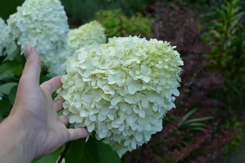 Białe kwiaty hortensji, a także hortensja w uprawie w ogrodzie krok po kroku - pielęgnacja, sadzenie, podlewanie