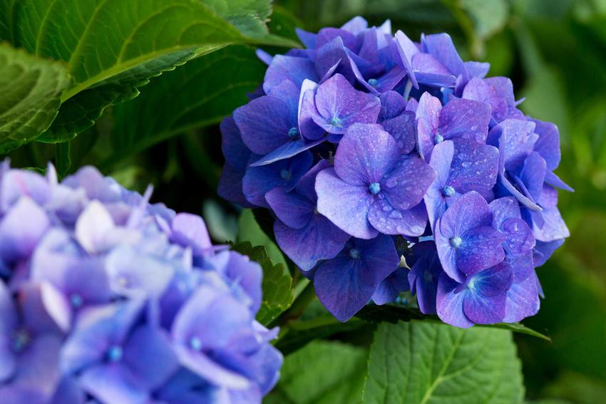 Hortensja niebieska wymaga dość regularnego podlewania i nawożenia. Nawóz można dostarczać za pomocą specyfików rozpuszczalnych w wodzie, podczas podlewania.