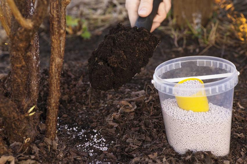 Nawóz do hortensji w formie granulek podaje się bezpośrednio pod krzew i przysypuje się ziemią. Nawożenie hortensji jest konieczne, by krzewy były rozwinięte.