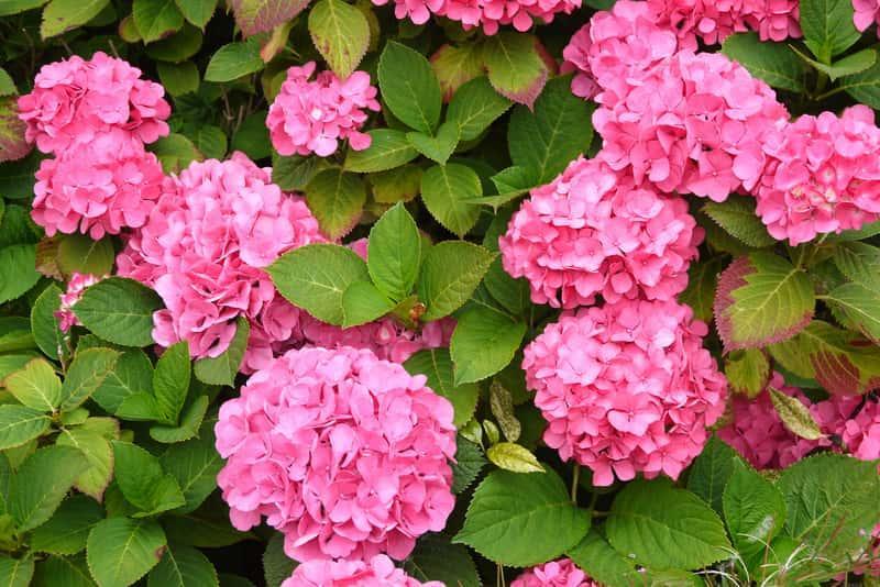 Różowe hortensje o pełnych, dużych kwiatach, a także najlepszy nawóz do hortensji, jak stosować oraz zasilanie hortensji