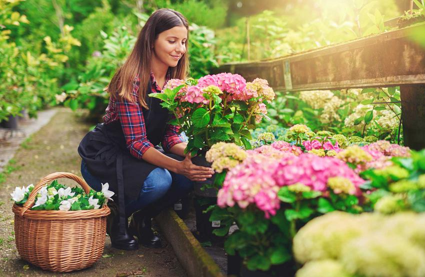 Sadzenie hortensji w ogrodzie przeprowadza się w zasadzie wiosną, jednak jesienią także można to wykonać, tak, by zdążyły się ukorzenić przed zimą.