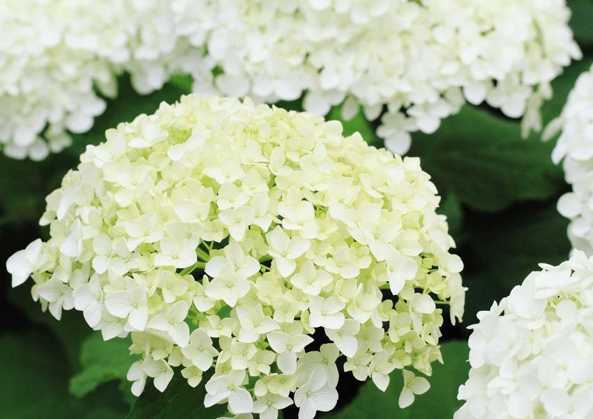 Silver Dollar to odmiana hortensji o pięknych, białych kwiatach. Pielęgnacja nie jest skomplikowana, uprawa nie zajmuje wiele czasu.