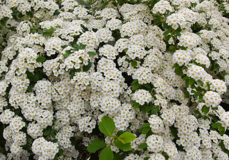 Drobne kwiaty tawuły wczesnej na gałązkach, a także tawuła wczesna w ogrodzie, sadzenie, pielęgnacja oraz uprawa rośliny