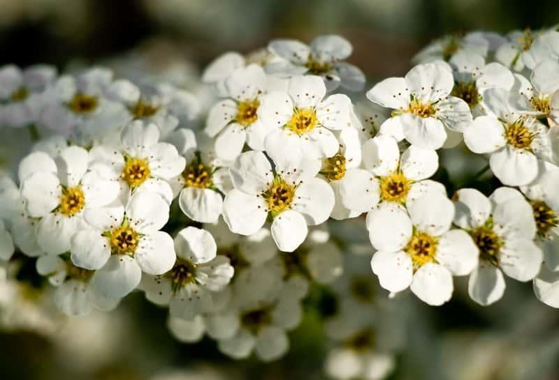 Tawuła biała Spiraea alba o drobnych białych kwiatuszkasz na szczycie pędów, a także uprawa, pielęgnacja, cięcie oraz sadzenie w ogrodzie