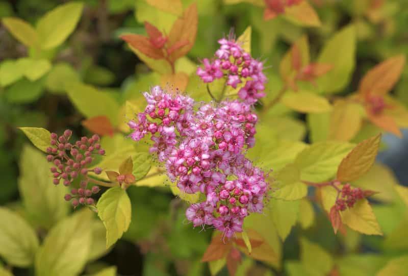 """Kwitnący krzew tawuły japońskiej 'Golden Princes""""- pielęgnacja, uprawa, stanowisko, warunki, środowisko"""
