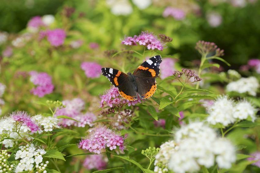Tawuła gęstokwiatowa to przepiękny krzew, który uprawia się w ogrodzie. Pielęgnacja nie jest trudna, a roślina jest chętnie odwiedzana przez motyle.