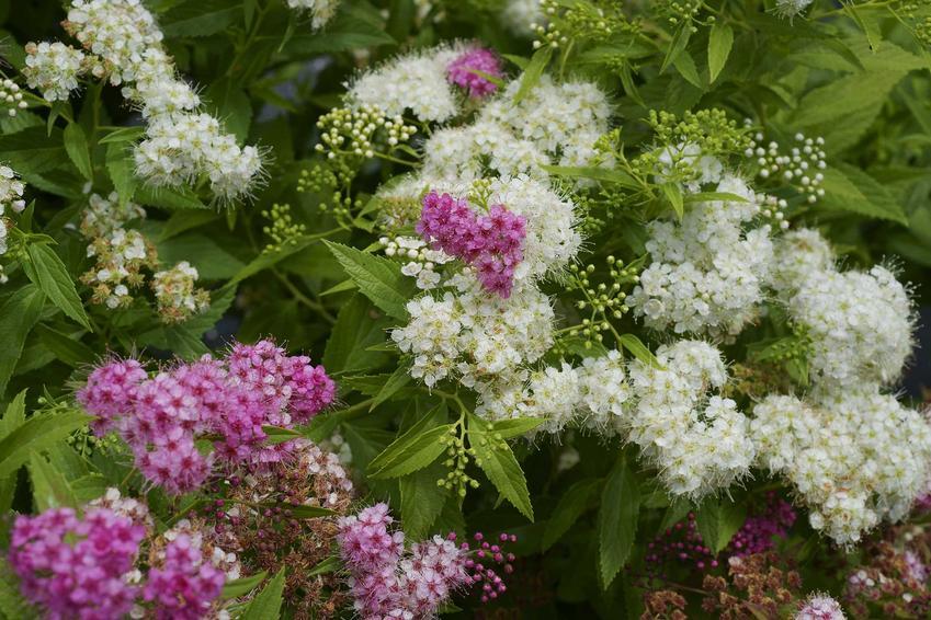 Tawuła brzozolistna to przepiękny krzew, który jest bardzo dekoracyjny ze względu na piękne, ciekawe i bardzo gęsto ułożone kwiaty. Jej pielęgnacja w ogrodzie nie jest wymagająca