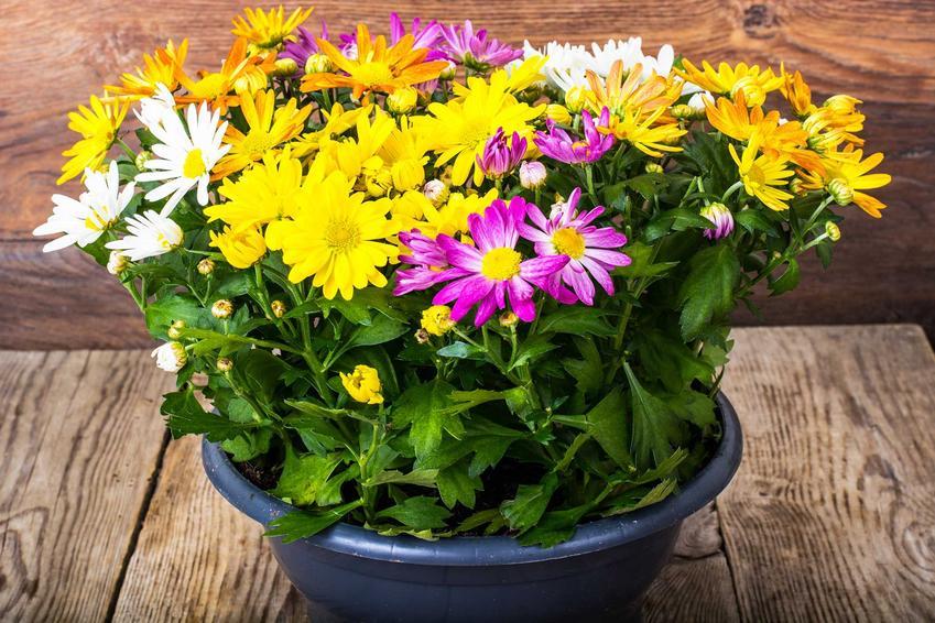 Chryzantemy w doniczce to przepiękne rośliny, które mają różne kolory. Ich pielęgnacja nie jest trudna, ale potrzebują sporo wody.