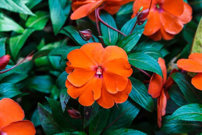 Niecierpek waleriana to jedna z najpiękniejszych roślin, które uprawia się na balkonie w doniczkach. Odmiany mają przepiękne, bardzo intenwyne kolory, a uprawa nie jest wymagająca.