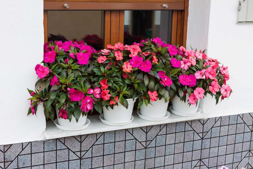Niecierpek nowogwinejski pięknie rozwija się na balkonie. To atrakcyjna, bardzo ciekawa roślina, której uprawa nie jest wymagająca.