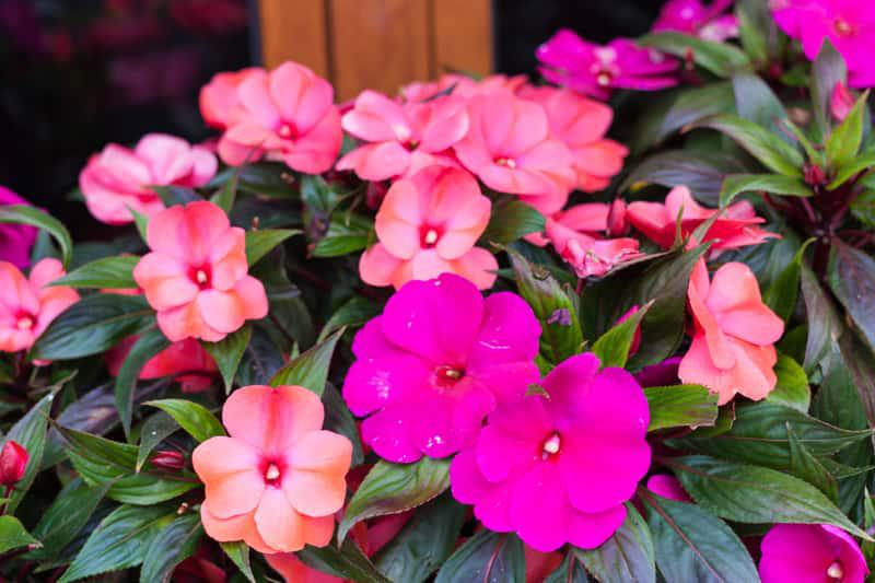 Niecierpek nowogwinejski o różowych kwiatach, a także sadzonki, uprawa, pielęgnacja, najważniejsze informacje krok po kroku