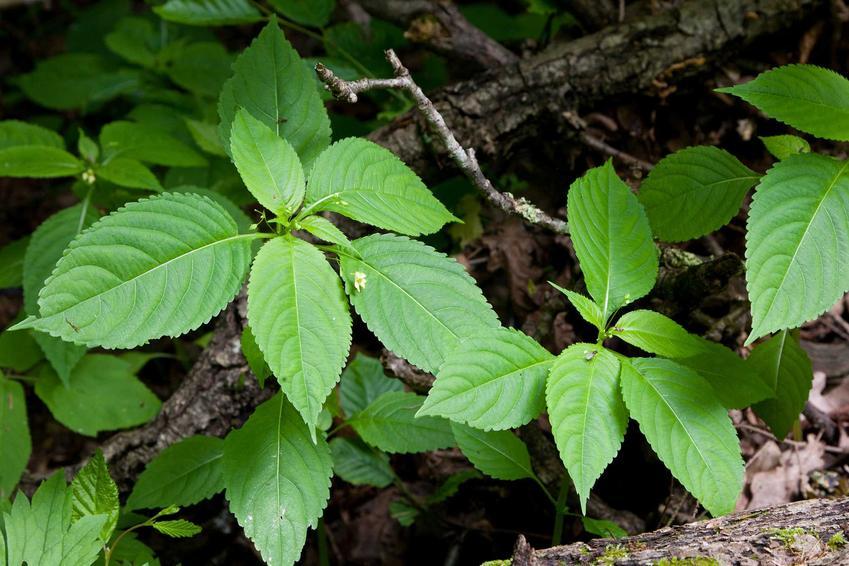 Niecierpek drobnokwiatowy to niewielka roślina, która nie ma większych walorów dekoracyjnych. Jest uciążliwym chwastem lasów i łąk.