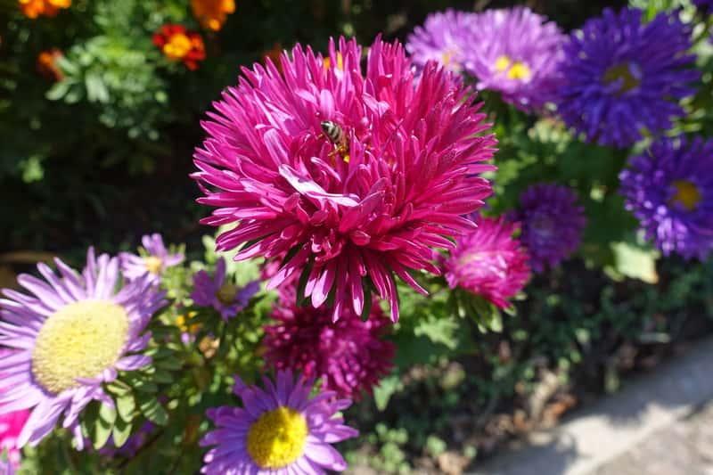 Aster chiński - kompozycja wielokwiatowa, czyli wysiew, uprawa, pielęgnacja oraz odmiany i wykorzystanie kwiatów
