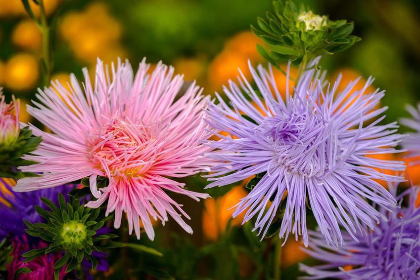 Aster chiński to ciekawa roślina, która kwitnie niemal przez cały sezon w ogrodzie. Pielęgnacja jest mało wymagająca, więc nadaje się do wszystkich ogrodów