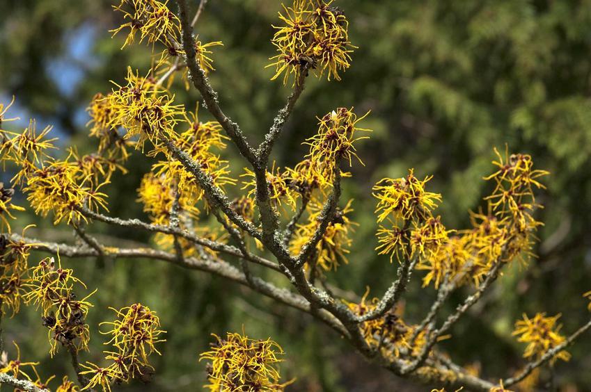 Oczar wirginijski to jedna z najładniejszych roślin. Jej uprawa nie jest trudna, a niektóre odmiany mają bardzo ciekawe kwiaty.