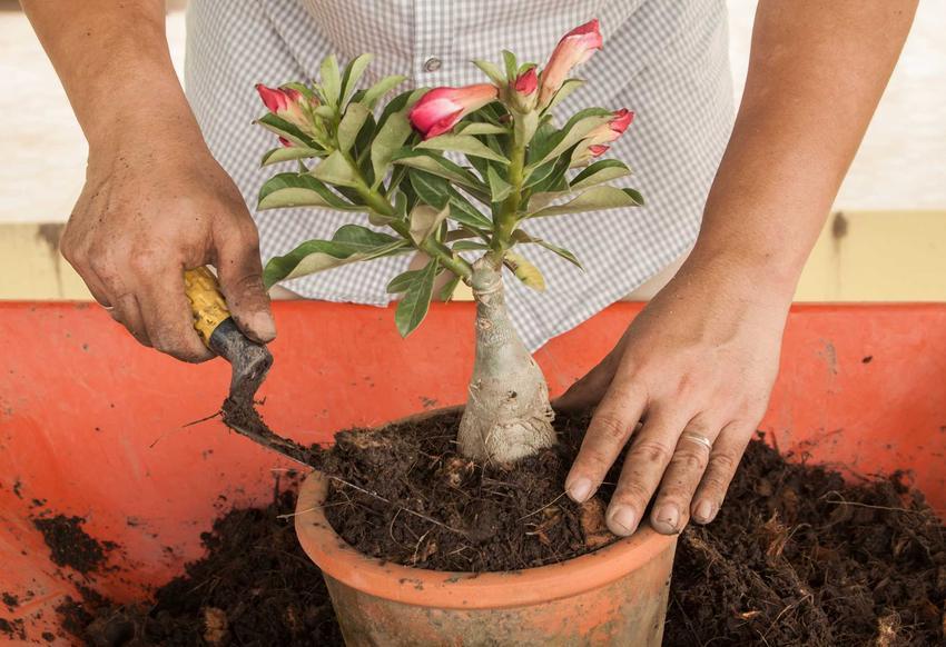 Sadzenie i pielęgnacja róży pustyni nie jest trudna. Ta piękna roślina nadaje się do doniczek i do ogrodu.