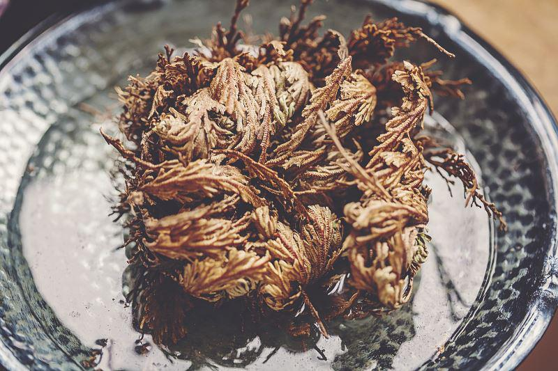 Pielęgnacja róży jerychońskiej czyli zmartwychwstanki nie jest trudna. Jest to wyjątkowa roślina, którą tak naprawdę wystarczy zanurzyć w wodzie, by się rozwinęła