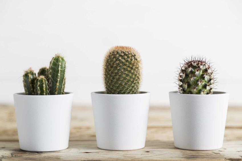 Małe sukulenty i kaktusy w doniczkach to bardzo ozdobne rośliny idealne dla osób, które często zapominają o kwiatkach. Liczba gatunków i odmian jest bardzo duża