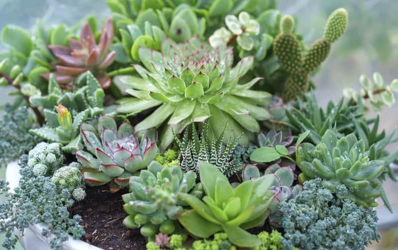 Sukulenty, czyli różnego rodzaju gatunki małych kaktusów oraz porady: uprawa, pielęgnacja i podlewanie krok po kroku