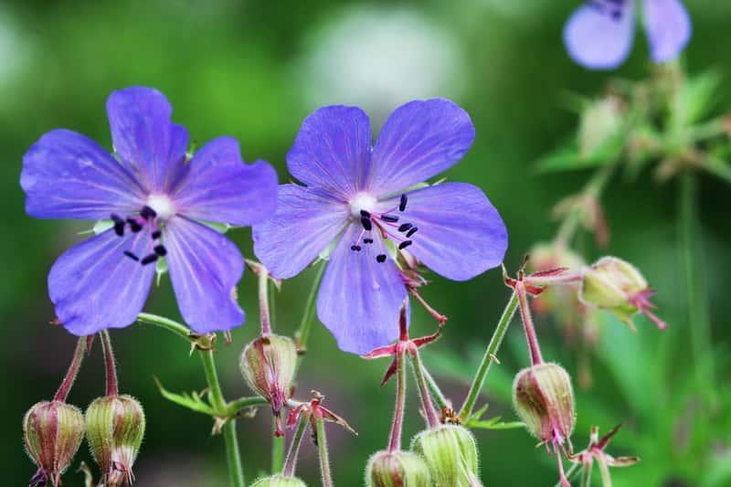 Błękitne kwiaty bodziszka łąkowego, z łac. geranium pratense - uprawa i pielegnacja w ogrodzie, właściwości lecznicze i zastosowanie - porady